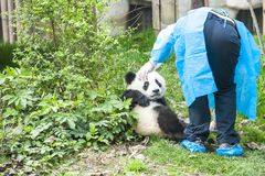 Panda Bear Cub med sjuksköterskan, Panda Research Center Chengdu, Kina arkivfoto