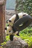 Panda Bear Cubs, China-Reise, Peking-Zoo Lizenzfreies Stockfoto