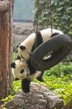 Panda Bear Cubs, de Reis van China, de Dierentuin van Peking Royalty-vrije Stock Foto