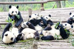 Panda Bear Cubs som äter bambu, Panda Research Center Chengdu, Kina arkivbilder