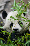 Panda Bear Eating Royalty Free Stock Images