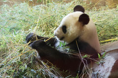 Panda bear eating bambo. Panda bear (Ailuropoda melanoleuca) eating bamboo Royalty Free Stock Photo