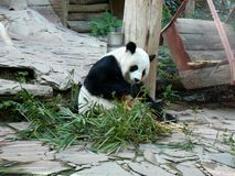 Panda Bear Eating Bamboo Lunch fotos de stock