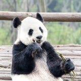 Panda Bear eating bamboo, Panda Research Center Chengdu, China Royalty Free Stock Image