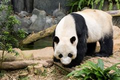 Panda bear eating bamboo tree Royalty Free Stock Images
