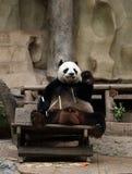 Panda bear eating bamboo Stock Photos