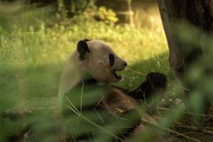 Panda bear eating royalty free stock photo