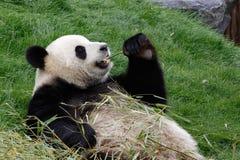 Panda bear eating. A panda bear on his back and eating bamboo royalty free stock photos
