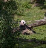 Panda bear eating Stock Photos