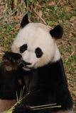 Panda Bear Eating Some-spruiten van Bamboe royalty-vrije stock fotografie