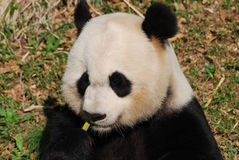Panda Bear Eating Some Yummy-Bamboespruiten royalty-vrije stock fotografie