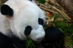 Panda bear eats with green leaves in mouth. Singapore - July 11, 2016: A black and white panda bear with green leaves and branches in her mouth. The panda eats Royalty Free Stock Photos