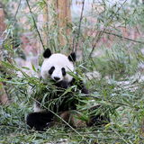 A Panda Bear Feeding on Bamboo. A Panda Bear Eating Bamboo. Panda Bear is an Endangered Exotic Species Found Only Mainly in China Stock Photo