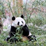Panda Bear Feeding en bambú Imágenes de archivo libres de regalías