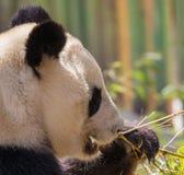 Panda Bear Fun en un día soleado Foto de archivo