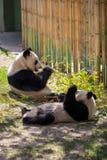 Panda Bear Fun en un día soleado Fotografía de archivo libre de regalías