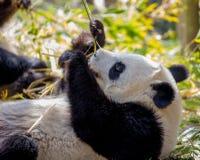 Panda Bear Fun en un día soleado Fotos de archivo