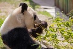 Panda Bear Fun en un día soleado Imagen de archivo