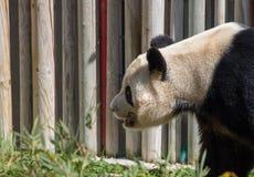 Panda Bear Fun en un día soleado Fotografía de archivo
