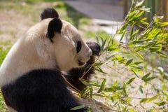 Panda Bear Fun un jour ensoleillé photo stock