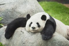 Panda bear. Giant cute panda bear sleeping Royalty Free Stock Photo
