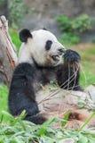 Panda bear Royalty Free Stock Image