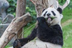 Panda bear. Giant panda bear eating bamboo leaf royalty free stock photography