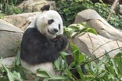 Panda bear. Giant panda bear eating bamboo leaf stock image