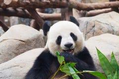 Panda bear. Giant panda bear eating bamboo leafs royalty free stock image