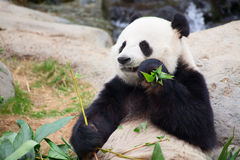 Panda bear. Giant panda bear eating bamboo leafs royalty free stock photos