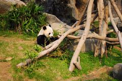 Panda bear. A Giant Panda is eating bamboo leafs Stock Image