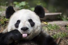 Panda Bear Giving die Himbeere Stockfotos