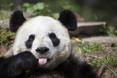 Giant Panda Bear Giving the Raspberry Stock Photos