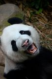 Panda bear growls and shows teeth while looking at camera. Singapore - July 11, 2016: A black and white panda bear stares at the camera with its mouth open and Stock Photo