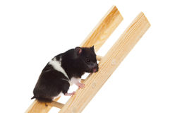 Panda Bear Hamster. Ambitious hamster climbing corporate ladder seeking advancement and promotion Stock Image