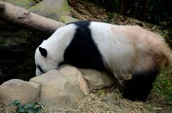 Panda bear leans over rocks and drinks water. Singapore - July 11, 2016: A black and white panda bear leans on rocks into pool water to drink. The panda bear is Royalty Free Stock Photo