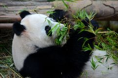 Panda bear lies on back and eats green bamboo shoot plants. Singapore - July 11, 2016: A black and white panda bear lies on his back at the Singapore Zoo River Royalty Free Stock Image