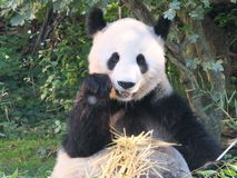 Panda. Bear lunchtime at the zoo Royalty Free Stock Images