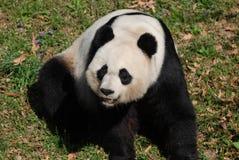 Panda Bear Making Silly Faces mientras que se sienta en sus caderas Imagen de archivo libre de regalías