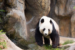 Panda Bear mignon Photo libre de droits