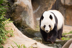 Panda Bear mignon Images libres de droits