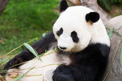 Panda Bear mignon Photographie stock libre de droits