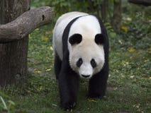 Panda bear. Goes through the forest stock photos