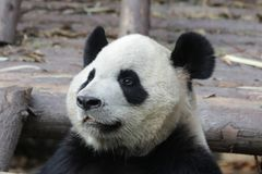 Panda Bear pelucheux fermé- à Chengdu, Chine Photo libre de droits