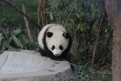 Panda Bear pelucheux fermé- à Chengdu, Chine Image libre de droits
