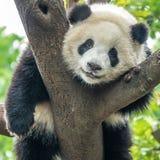 Panda bear. Portrait af a panda bear sitting in a tree seen in Chengdu china stock image