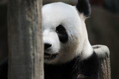 Panda bear portrait Royalty Free Stock Images