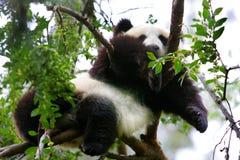 Panda Bear Relaxing i ett träd Arkivfoto
