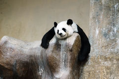 Panda bear resting Royalty Free Stock Photography