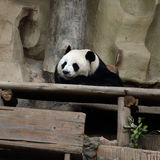 Panda bear resting Stock Image